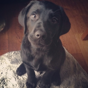 Ollie The labrador